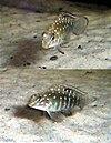 Tangicodus irsacae
