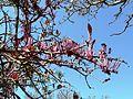 Tapinanthus rubromarginatus, blomme, b, Waterberg.jpg