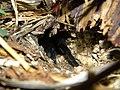 Tarantula (3911757846).jpg