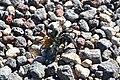 Tarantula (6255209879).jpg