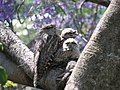 Tawny Frogmouth With Young.jpg