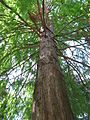 Taxodium distichum 01 by Line1.jpg