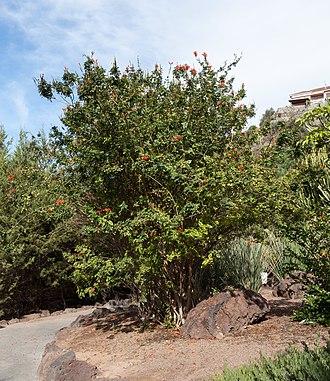 Tecoma capensis - Image: Tecoma capensis Jardín Botánico Canario Viera y Clavijo Gran Canaria