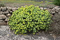 Teguise - Camino de Teguise al las Nieves - Euphorbia regis-jubae 06 ies.jpg