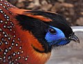 Temmincks Tragopan Head (5254730998).jpg