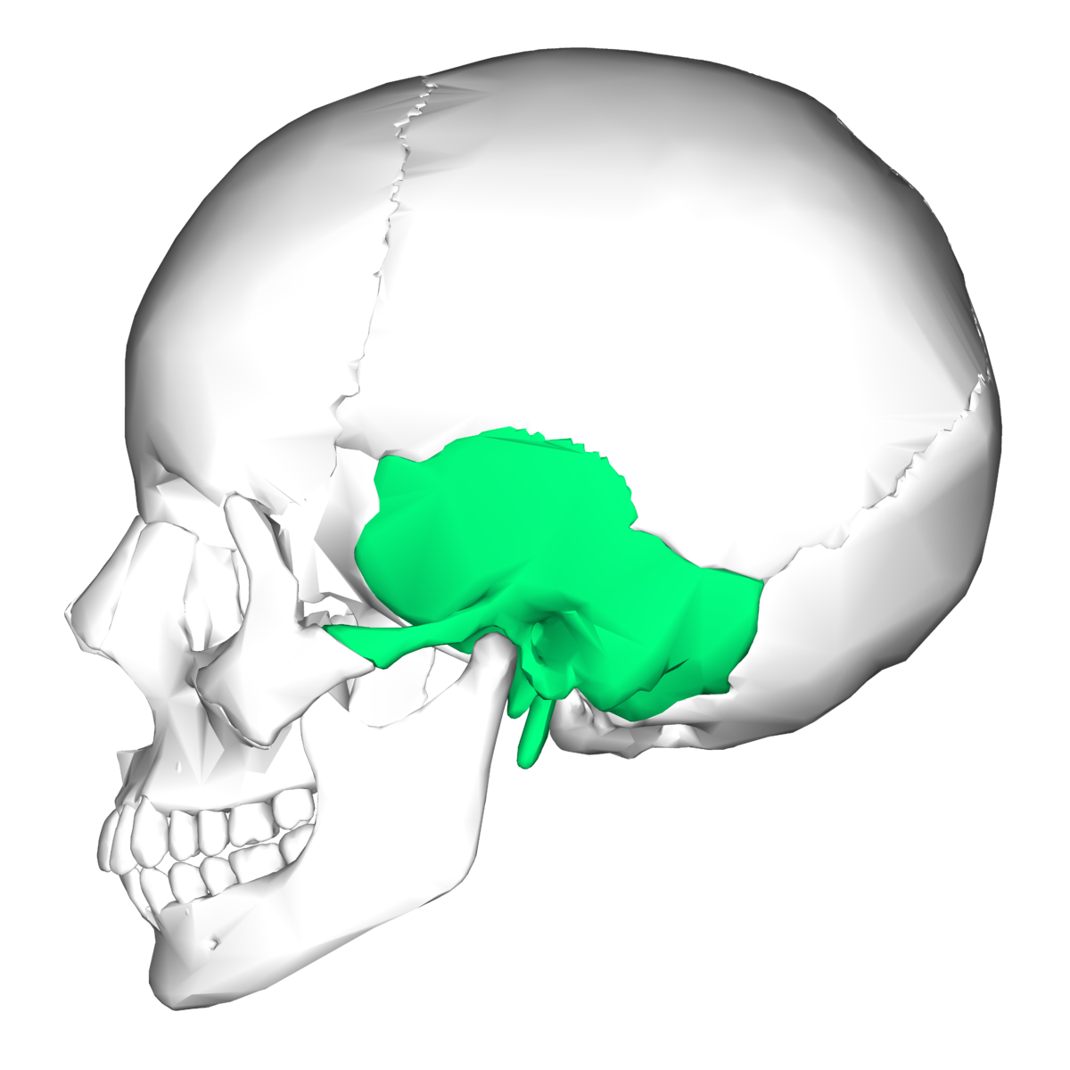 Temporal bone on diagram of body cavities