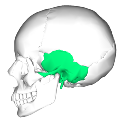 Temporal bone lateral5.png