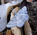 Tephrina inconspicuaria. Geometridae (8413368187).jpg