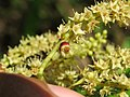 Terminalia elliptica - Indian Laurel flowers at Nedumpoil (6).jpg