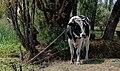 Tethered bull Holstein Mexico p2.jpg