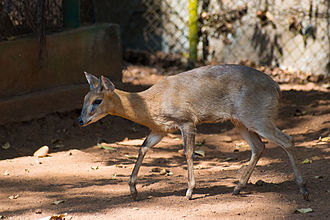 Four-horned antelope - The four-horned antelope is solitary by nature.