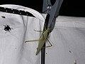 Tettigoniidae sp. (28247796229).jpg