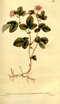 The Botanical Magazine, Plate 132 (Volume 4, 1791).png