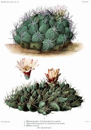 The Cactaceae Vol III, plate XVII filtered.jpg