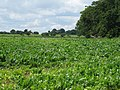The Sandy Pightle field and wood - geograph.org.uk - 501664.jpg