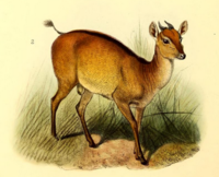 The book of antelopes (1894) Cephalophus ogilbyi.png