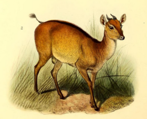 Description de l'image The book of antelopes (1894) Cephalophus ogilbyi.png.
