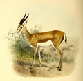 The book of antelopes (1894) Gazella cuvieri.png