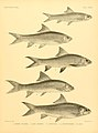 The fishes of India (Plate CXXXII) (7070536027).jpg