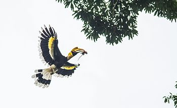 The great indian Hornbill.jpg
