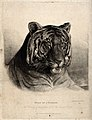 The head of a tigress (Felis tigris). Etching with engraving Wellcome V0021516.jpg