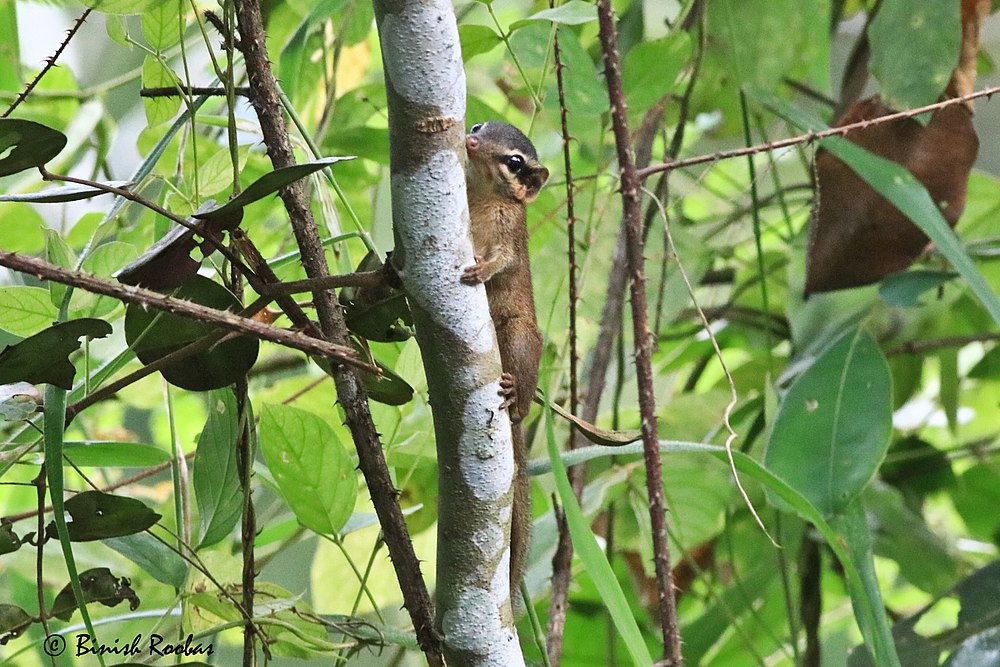 The average adult weight of a Northern smooth-tailed treeshrew is 50 grams (0.11 lbs)