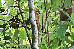 The northern smooth-tailed treeshrew.jpg