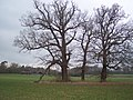 Three trees in a field - geograph.org.uk - 1703087.jpg