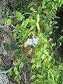 Thunbergia laurifolia1.JPG
