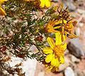Thymophylla acerosa 3.jpg