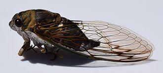 Dog-day cicada - Image: Tibicen canicularis UMFS 2