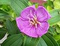 Tibouchina semidecandra (Begam Bahar).jpg