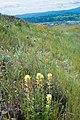 Tiburon paintbrush 3 (16317767043).jpg