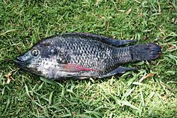 Mozambique tilapia wikipedia for Is tilapia a man made fish