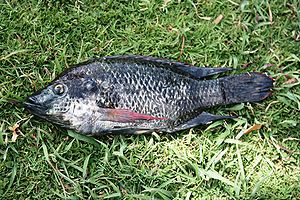 Mozambique tilapia - A Mozambique Tilapia caught in a man-made lake where it naturally occurs along with species introduced for aquaculture in Pune, India.