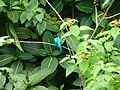 TnT Asa Wright Green Honeycreeper.jpg