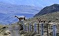 Torres del Paine guanacos JF.jpg