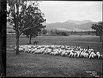 Travelling Sheep (4903870088).jpg