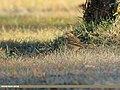 Tree Pipit (Anthus trivialis) (46858387782).jpg