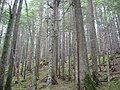 Trees along the Avalanche Lake Trail (4459773119).jpg