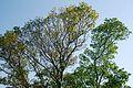 Trees at Mulanje (15507700099).jpg