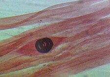 larva ve svalu