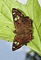 Tricoloured Pied Flat Coladenia indrani by Dr Raju Kasambe DSCN9927 (2).jpg