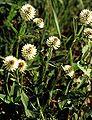 Trifolium montanum eF.jpg