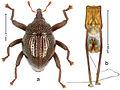 Trigonopterus disruptus 35701.jpg