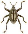 Trigonopterus velaris holotype - ZooKeys-280-001-g095.jpg