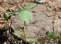 Trillium smallii and Diphylleia grayi.jpg