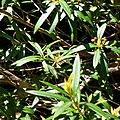 Tristania neriifolia Ourimbah.jpg