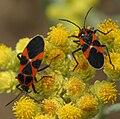 Tropidothorax leucopterus RF.jpg