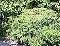 Tsuga canadensis 'Jeddeloh' shrub.jpg